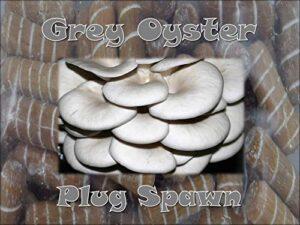 Portal Cool Grey Oyster Mushroom Plug spawn 50 Count of Regi ...